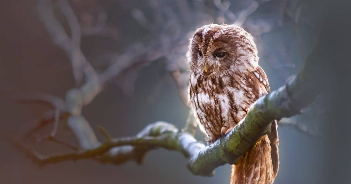 Brown owl on a bare branch